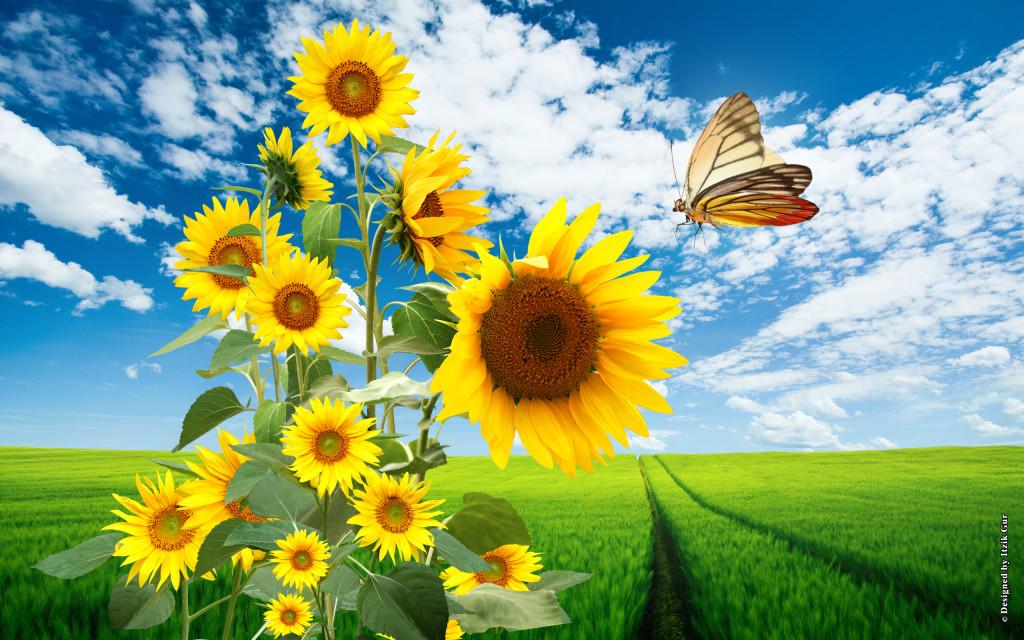 Sunflowers-153